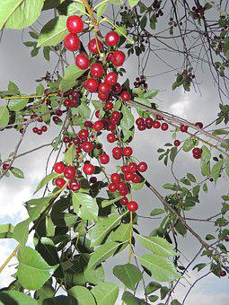 Cherry, Ripe Cherry, Stormy Sky, Tree, Berry