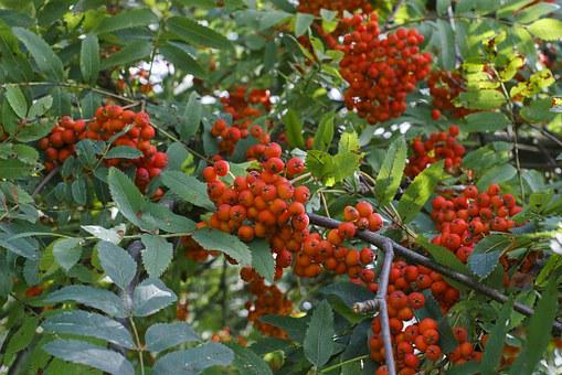 Rowan, Red, Tree, Grono, Plant, A Lot, Beautiful, Fruit