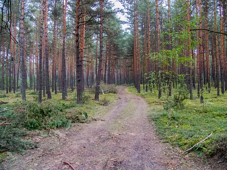 The Path, Forest, Coniferous Forest, Way