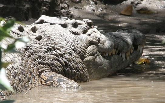Crocodile, Reserve, Predator, Tooth, Animal World