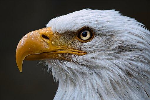 Bald Eagle, Bird, Raptor, Bird Of Prey, Beak, Bill, Eye