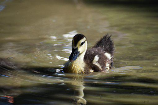 Duckling, Duck, Bird, Baby Duck, Waterfowl, Water Bird