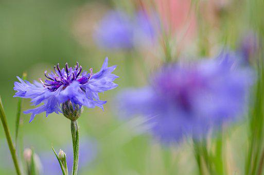 Cornflower, Flower, Blue Flower, Petals