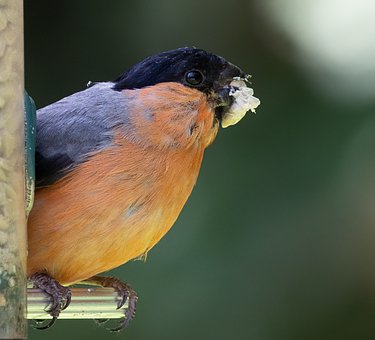 Bullfinch, Blue Tit, Perched, Animal, Feed, Feathers