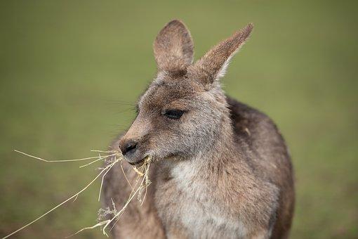 Kangaroo, Marsupial, Eastern Grey Kangaroo
