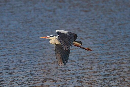 Grey Heron, Bird, Flight, Heron, Animal, Lake, Wings