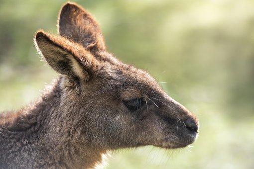 Kangaroo, Joey, Animal, Macropus Giganteus, Marsupial