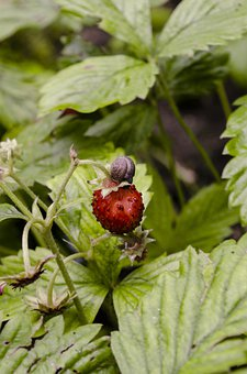Snail, Strawberry, Nature, Mollusk, Fruit, Berry, Food