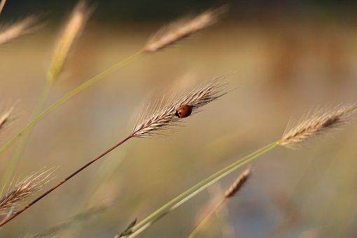Ladybug, Bug, Beetle, Grass, Ear, Blade, Nature