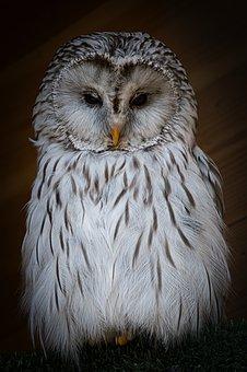 Owl, Perched, Animal, Bird, Snowy Owl, Wildlife