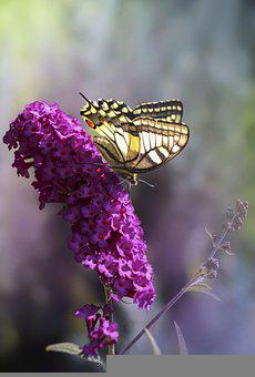 Butterfly, Flowers, Pollinate, Pollination, Swallowtail