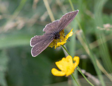 Meadow Brown, Butterfly, Flower, Pollinate, Pollination
