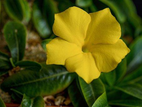 Yellow Elder, Yellow Bell, Yellow Flower, Nature