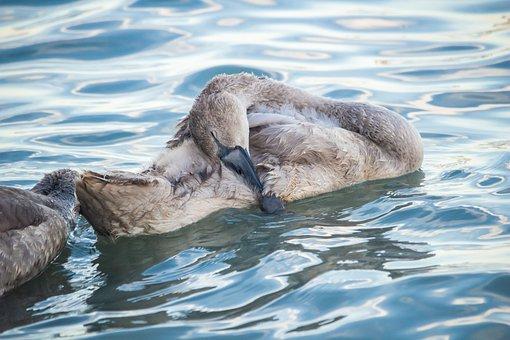 Cygnet, Bird, Animal, Lake, Sleeping, Sleep, Plumage
