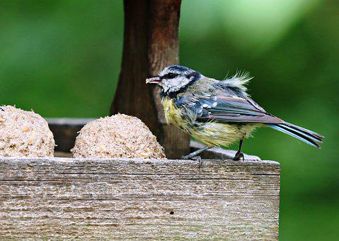 Blue Tit, Bird, Perched, Tit, Feed, Animal, Feathers