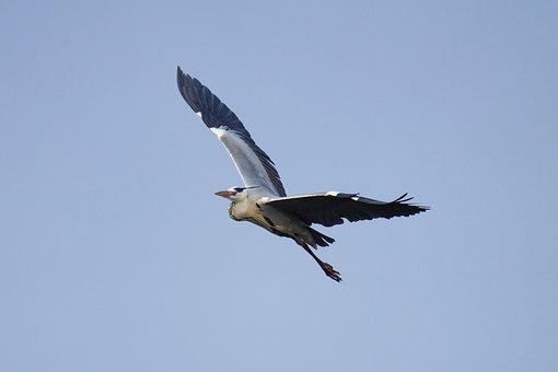 Grey Heron, Bird, Flight, Flying, Wings, Heron, Sky