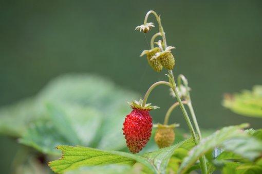 Wild Strawberries, Fruits, Plant, Strawberries