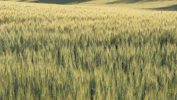 Wheat, Field, Wheat Field, Grass, Crops, Wheat Crops