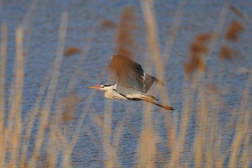 Grey Heron, Bird, Flight, Flying, Wings, Heron, Plumage
