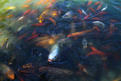 Fish, Carp, Koi, Fresh Water, Lake, River, Pond, Nature