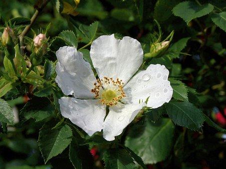 Dog-rose, Flower, White Flower, Leaves, Petals