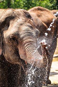 Elephant, Animal, Mammal, Trunk, Large Animal