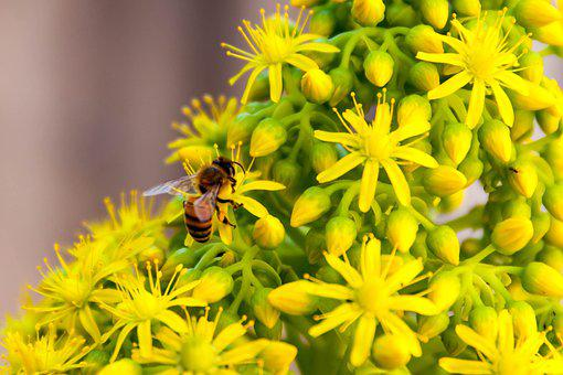 Bee, Insect, Flowers, Pollen, Plant, Pollinate, Petals