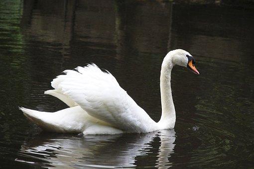 Swan, Bird, Feathers, Plumage, Swim, Water Bird, Animal