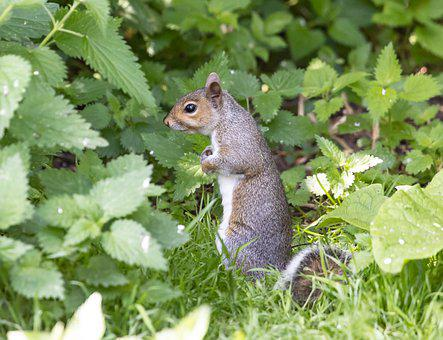 Squirrel, Animal, Forest, Gray Squirrel, Rodent, Mammal