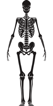 Human Skeleton, Anatomy, Skeleton, Sketch, Cutout