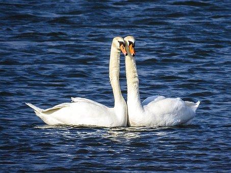 Swans, Birds, Animals, Mute Swans, Water Birds