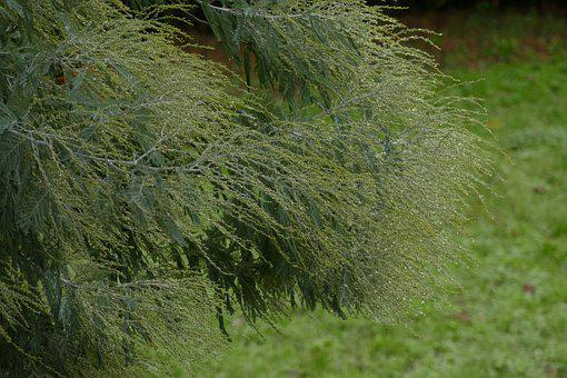 Firs, Tree, Bush, Plant, Green, Rain, Water, Nature
