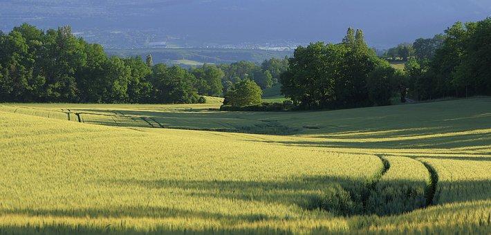 Wheat, Field, Wheat Field, Grass, Trees, Barley, Crops