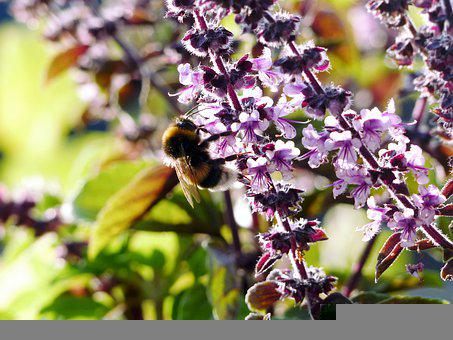 Bee, Insect, Pollinate, Pollination, Flowers