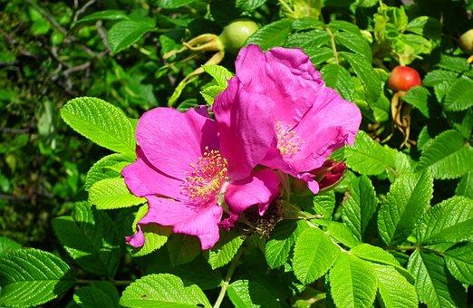 Beach Rose, Flowers, Plant, Pink Flowers, Petals, Bloom