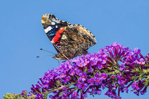 Butterfly, Red Admiral, Butterfly Bush