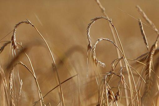 Hail Damage, Hail, Field, Barley, Cultures