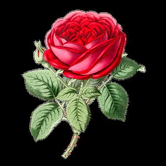 Flower, Rose, Red Rose, Floral, Plant, Petals, Blossom