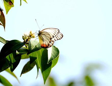 Painted Jezebel, Butterfly, Flower, Pollinate