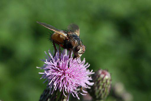 Fly, Flower, Pollinate, Pollination, Animal, Insect