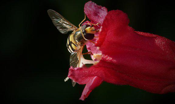 Hoverfly, Insect, Pollinate, Pollination, Flower