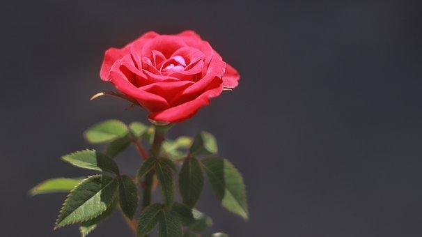 Rose, Flower, Red Rose, Leaves, Rose Bloom, Petals
