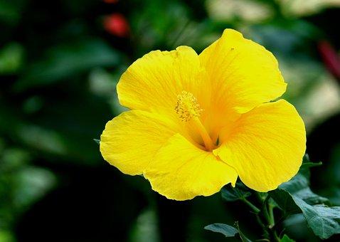 Hibiscus, Flower, Yellow Hibiscus, Petals
