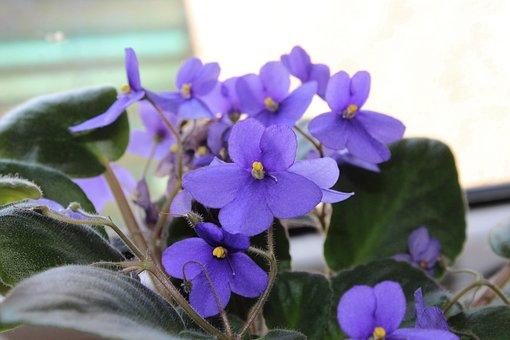 African Violet, Violets, Flowers, Purple Flowers