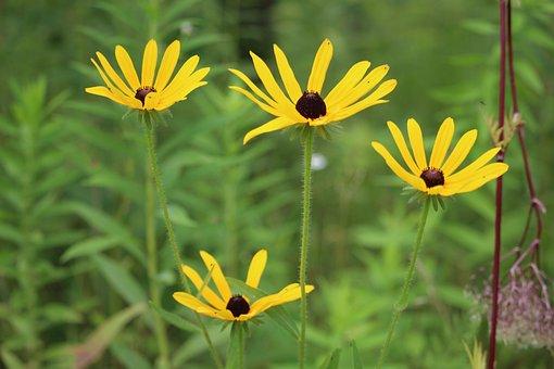 Black-eyed Susans, Flowers, Yellow Flower, Petals