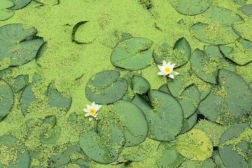 Water Lilies, Flowers, Lily Pads, White Flowers, Bloom