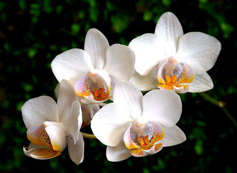 Orchid, Flowerss, White Orchids, Petals, White Petals