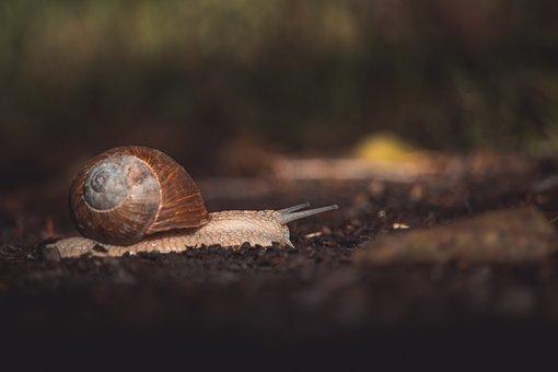 Snail, Animal, Slow, Mollusk, Gastropod, Wildlife