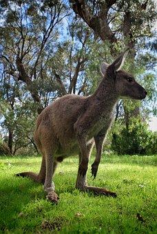 Kangaroo, Animal, Marsupial, Mammal, Macropus Giganteus