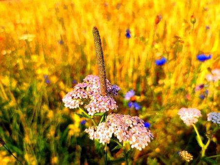 Field, Flowers, Petals, Flora, Botany, Plants, Nature